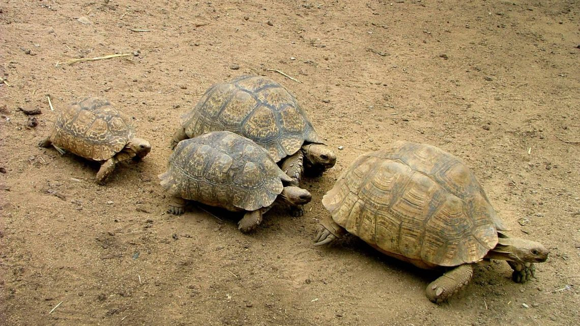 riproduzione delle tartarughe di terra