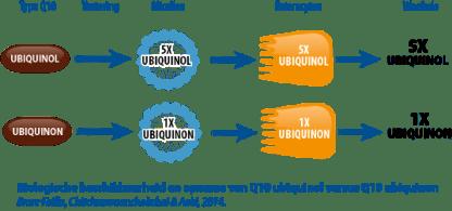 Ubiquinol vs Ubiquinon