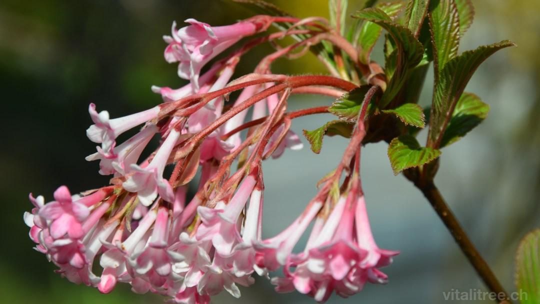 Baumblüten, Duft-Schneeball (Viburnum farreri) 4561