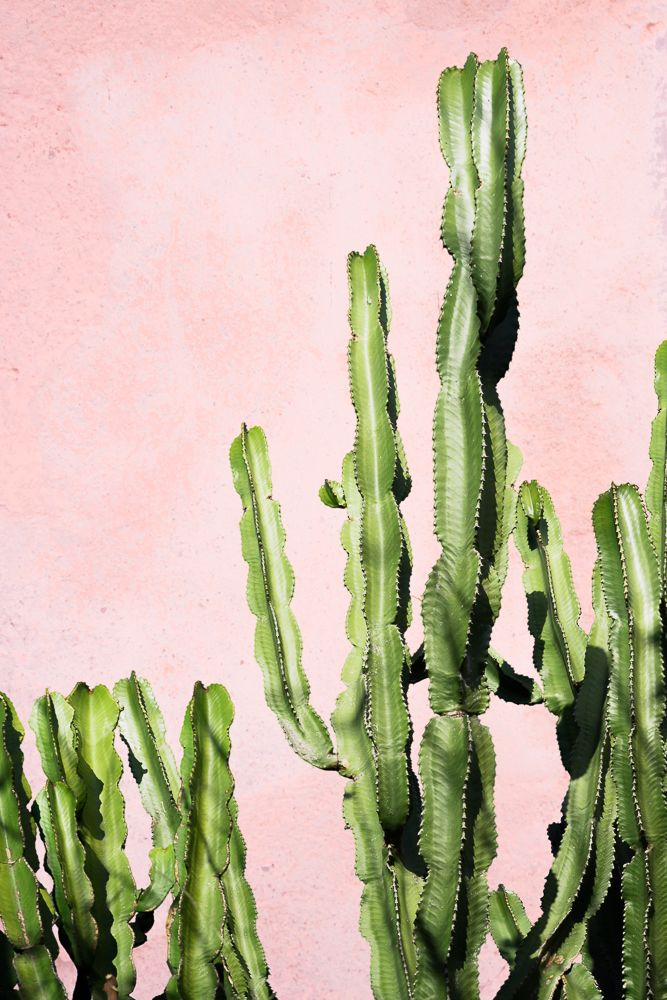 cactus su parete rosa