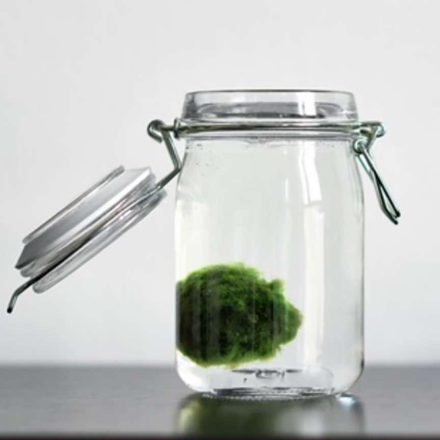 Marimo alga verde