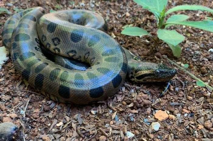 Zoológico de Brasília recebe maior espécie de cobra do mundo