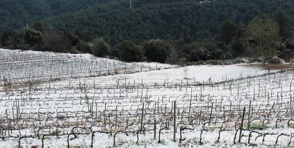Zona de vinyes de situada a Collserola // Jose Polo