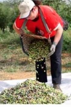 olive oil harvest