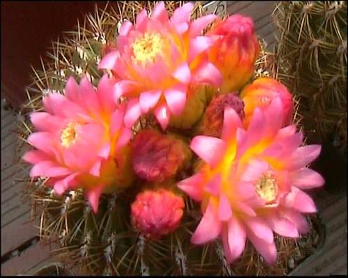 Vendita cactacee cactusfollia for Piante da vivaio