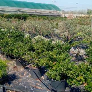Arbusti mediterranei