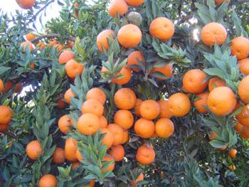 home piante piante piante da frutta chinotto