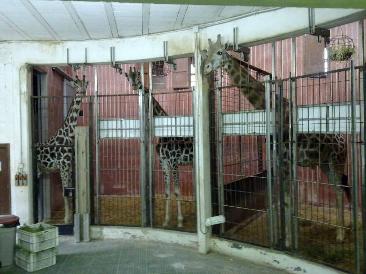 Jirafas en jaulas visiblemente pequeñas, donde pasan la mayoría de su existencia, cuando el zoo no está abierto al público