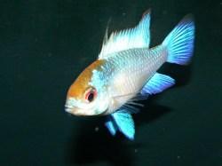 Mikrogeophagus ramirezi Neon Blue