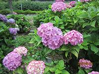 長久保公園 紫陽花