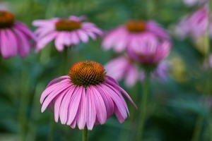 Echinacea. Rafforza il sistema immunitario