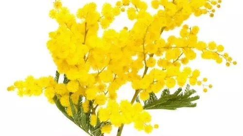 76-0-Mimose
