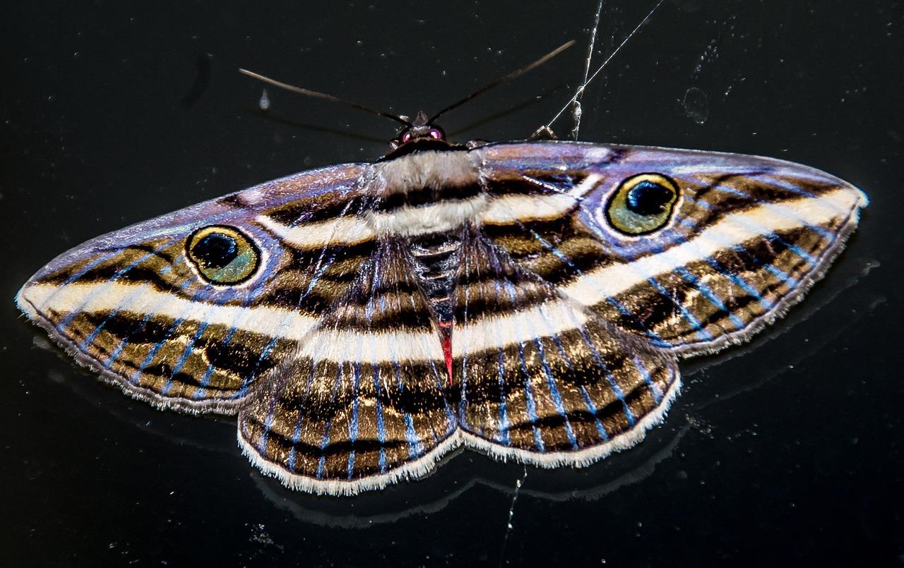 Te-aterran-las-mariposas-negras-Conoce-su-significado-no-son-malignas-como-muchos-creen 12/06/20