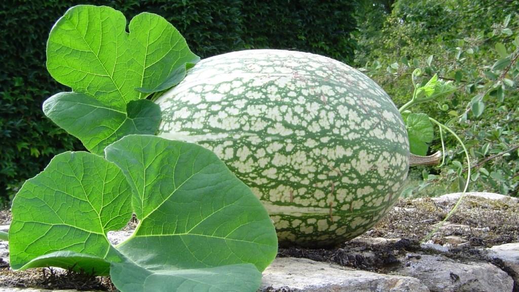 Beneficios del chilacayote_ Enamórate de esta fruta típica de México