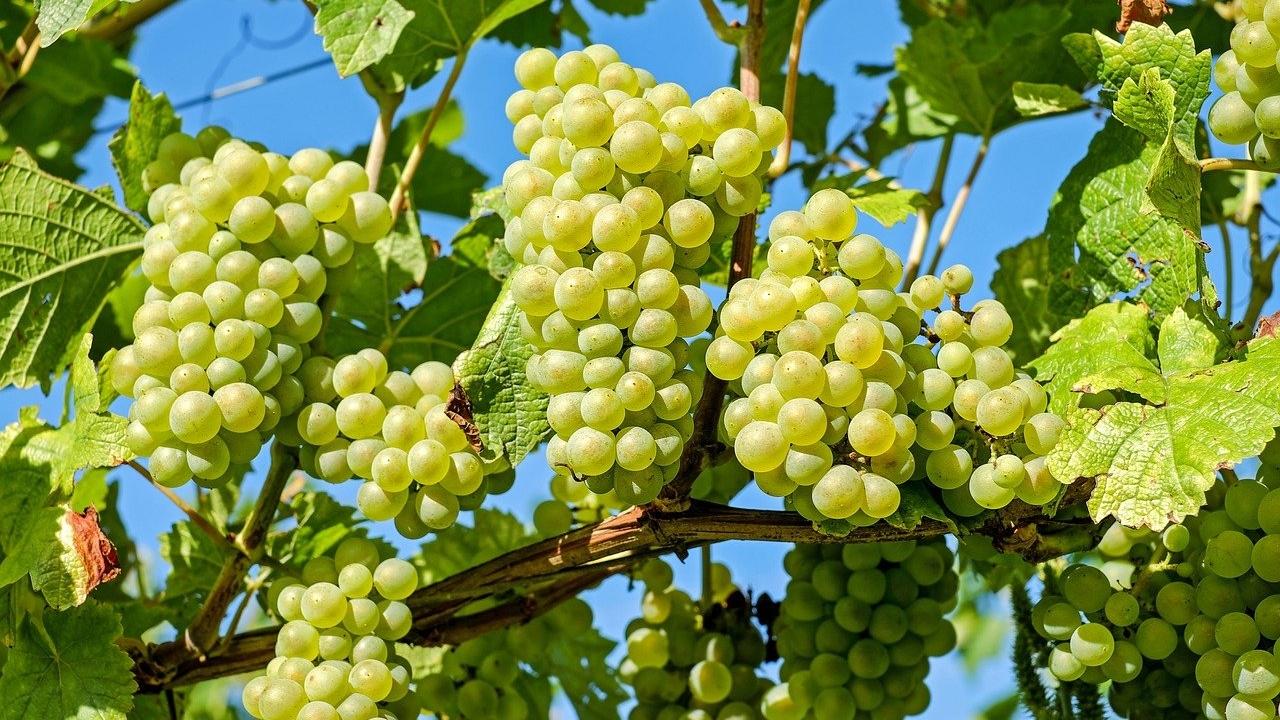 Jugo de uvas verdes para una piel más saludable, te explicamos cómo hacerlo