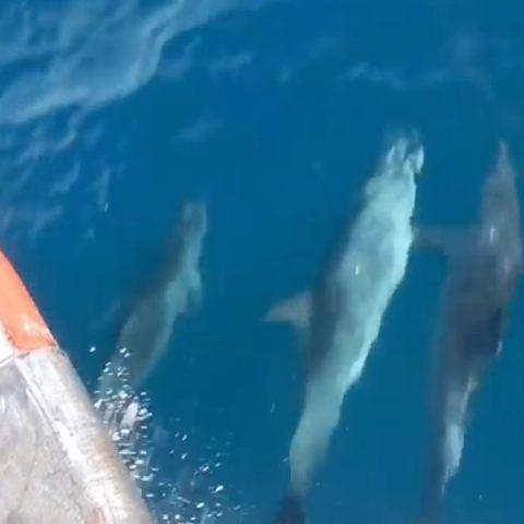 captan a delfines tomados de la aleta mientras nadan