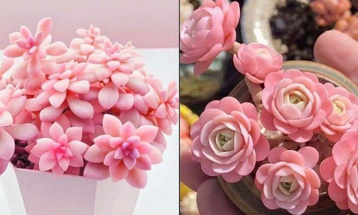 suculentas-rosas-decoracion