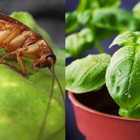 plantas cucarachas