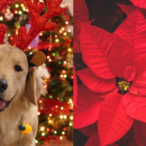 la flor de nochebuena puede envenenar a tu perro