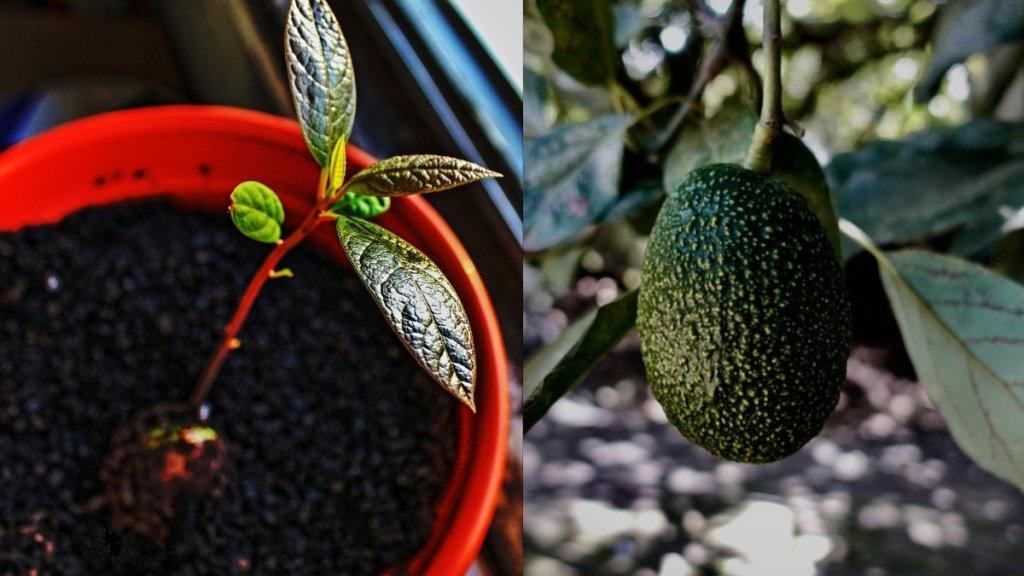 cómo cultivar aguacate en maceta