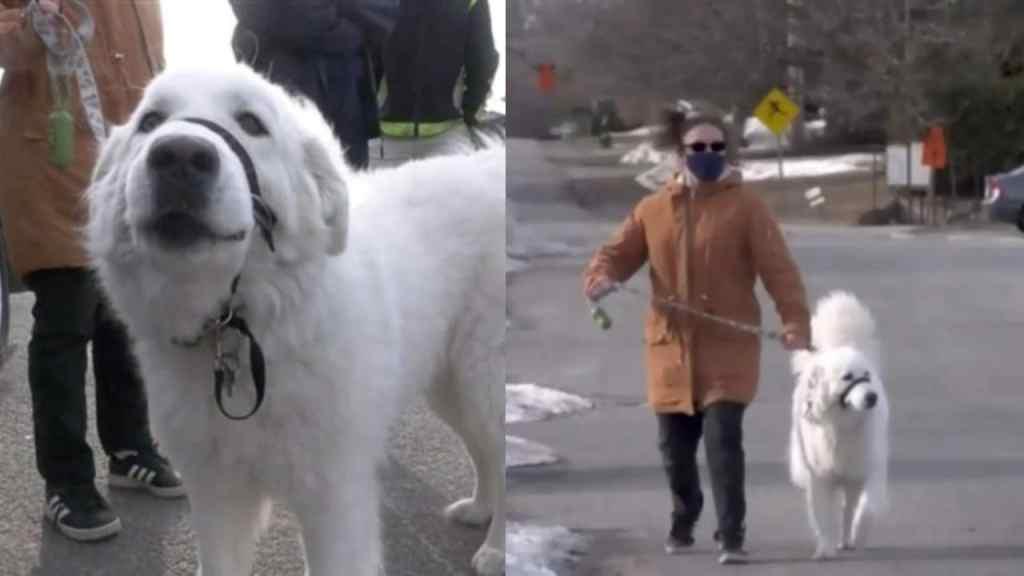 clover perrito detuvo trafico para salvar dueña