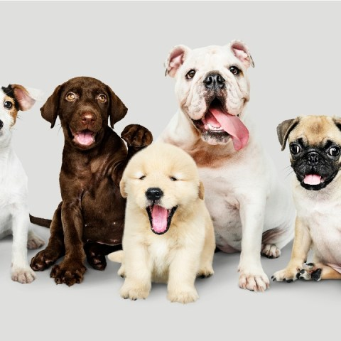 razas de perro para quienes viven en departamento