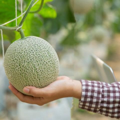 cómo cultivar melón planta jardinería huerto
