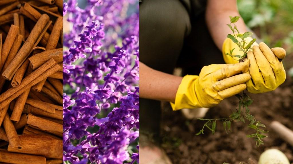 canela lavanda cuidado de tus plantas