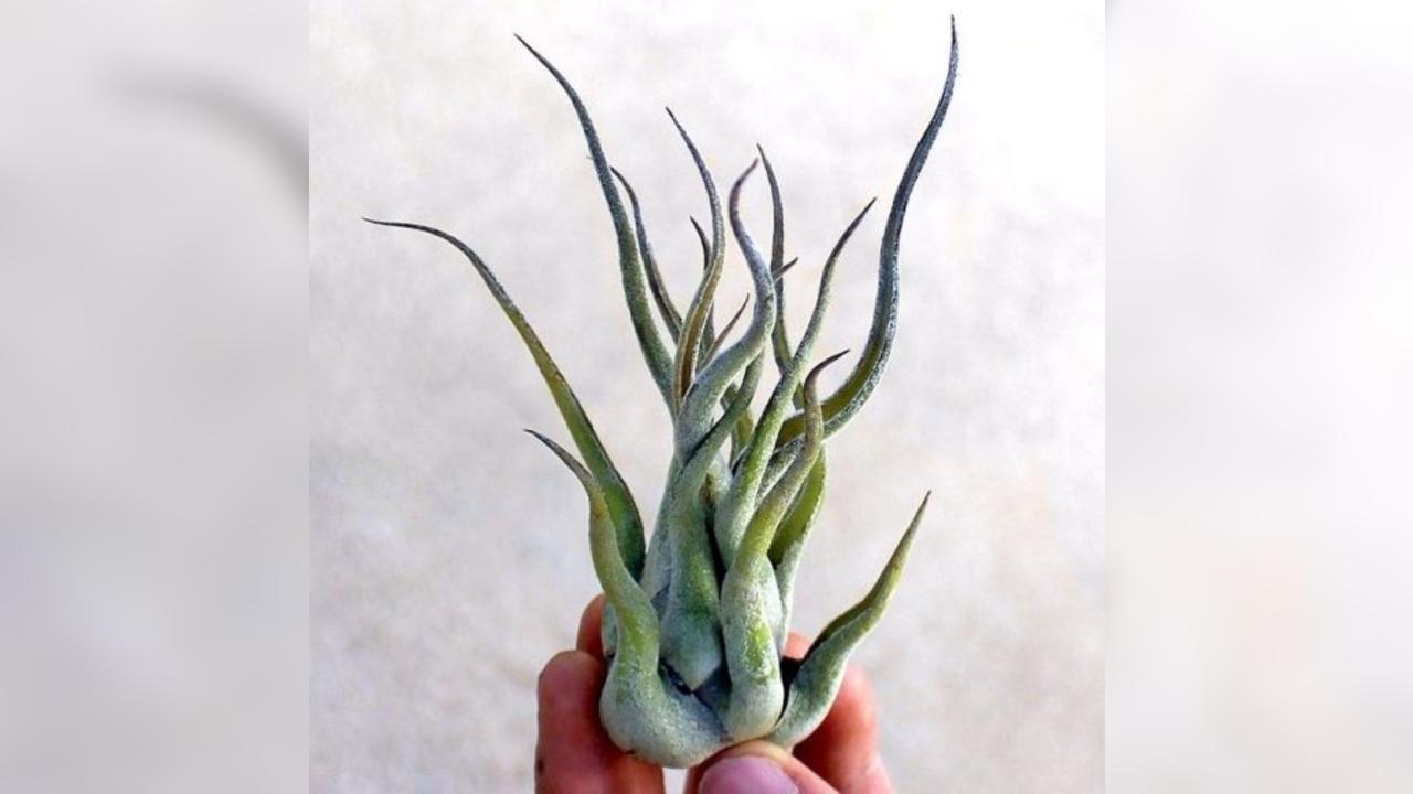 plantas de aire medusas plantas especies decoración hogar