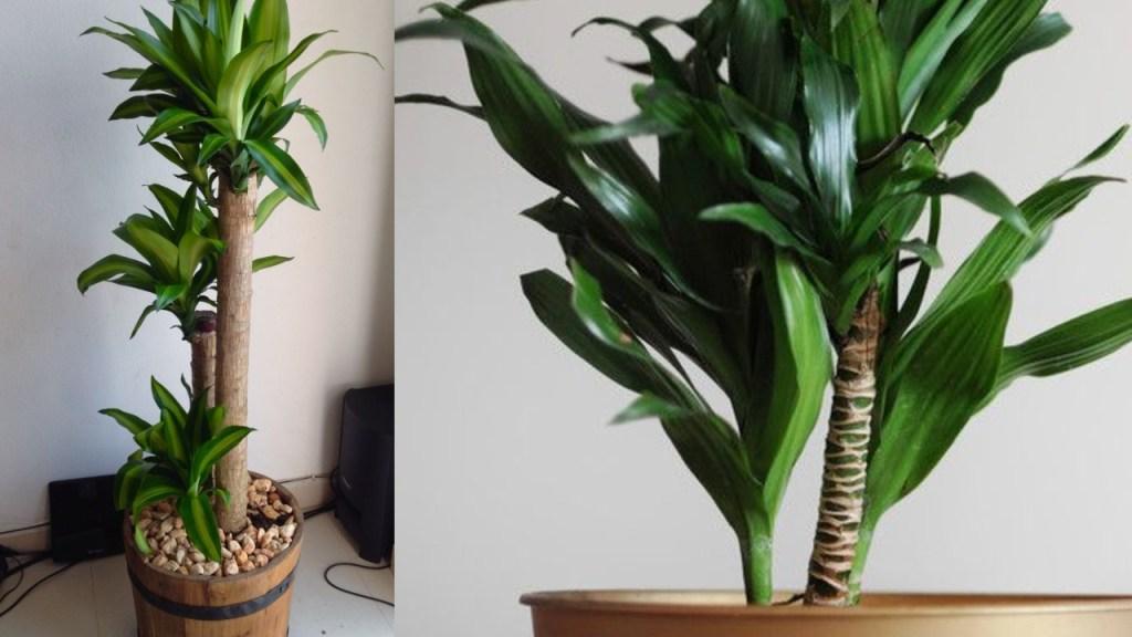 cómo reproducir palo de Brasil planta