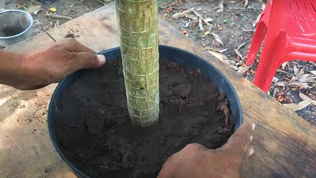 palo de brasil plantas especier plantas de interior cómo reproducir
