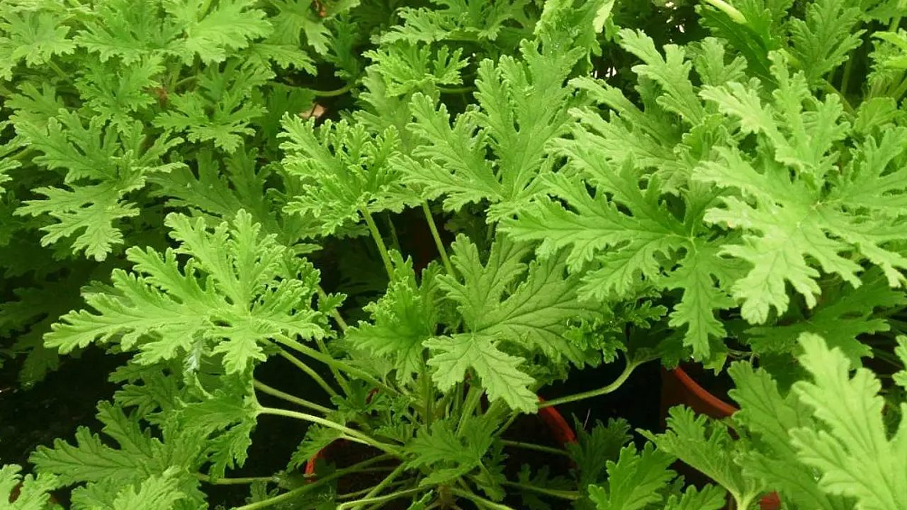 cultivo de citronela para el hogar plantas