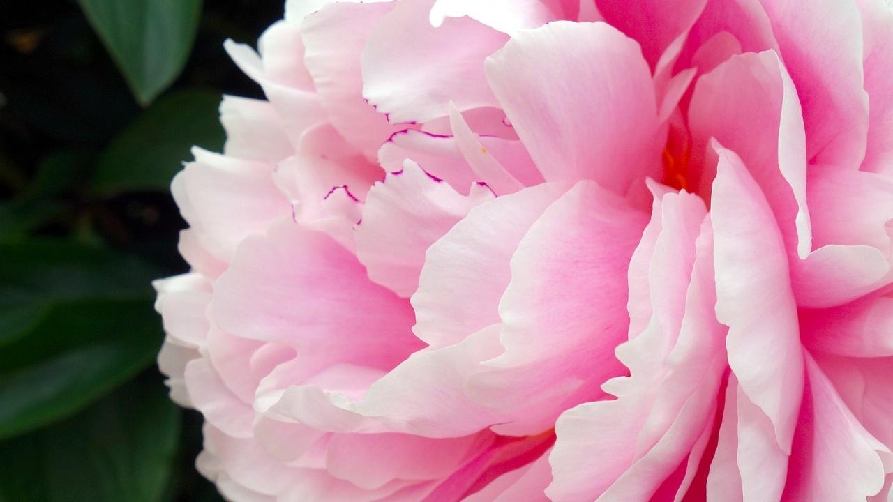 cultivar peonías en casa jardín maceta cuidados plantas flores