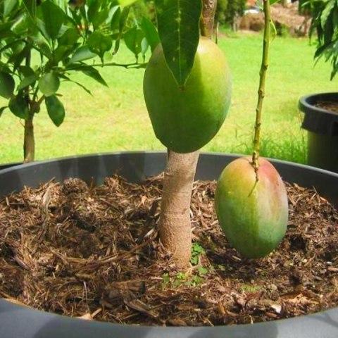 cómo germinar cultivar mango fruta planta en maceta