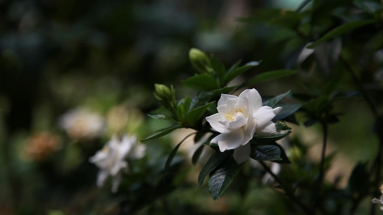 cuidados de las gardenias para cultivarlas en maceta