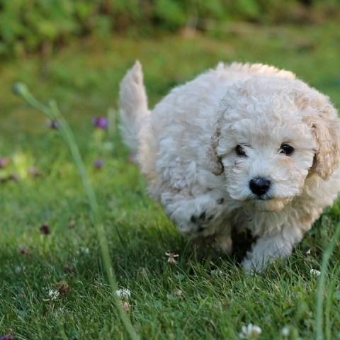 perros raza más agresivas temperamentales cuáles son