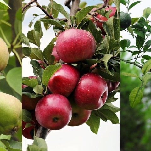 cómo cultivar semillas frutas manzana limón pera