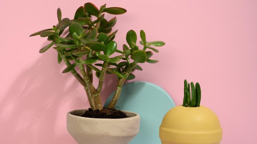 planta suculenta árbol de jade cuidados básicos