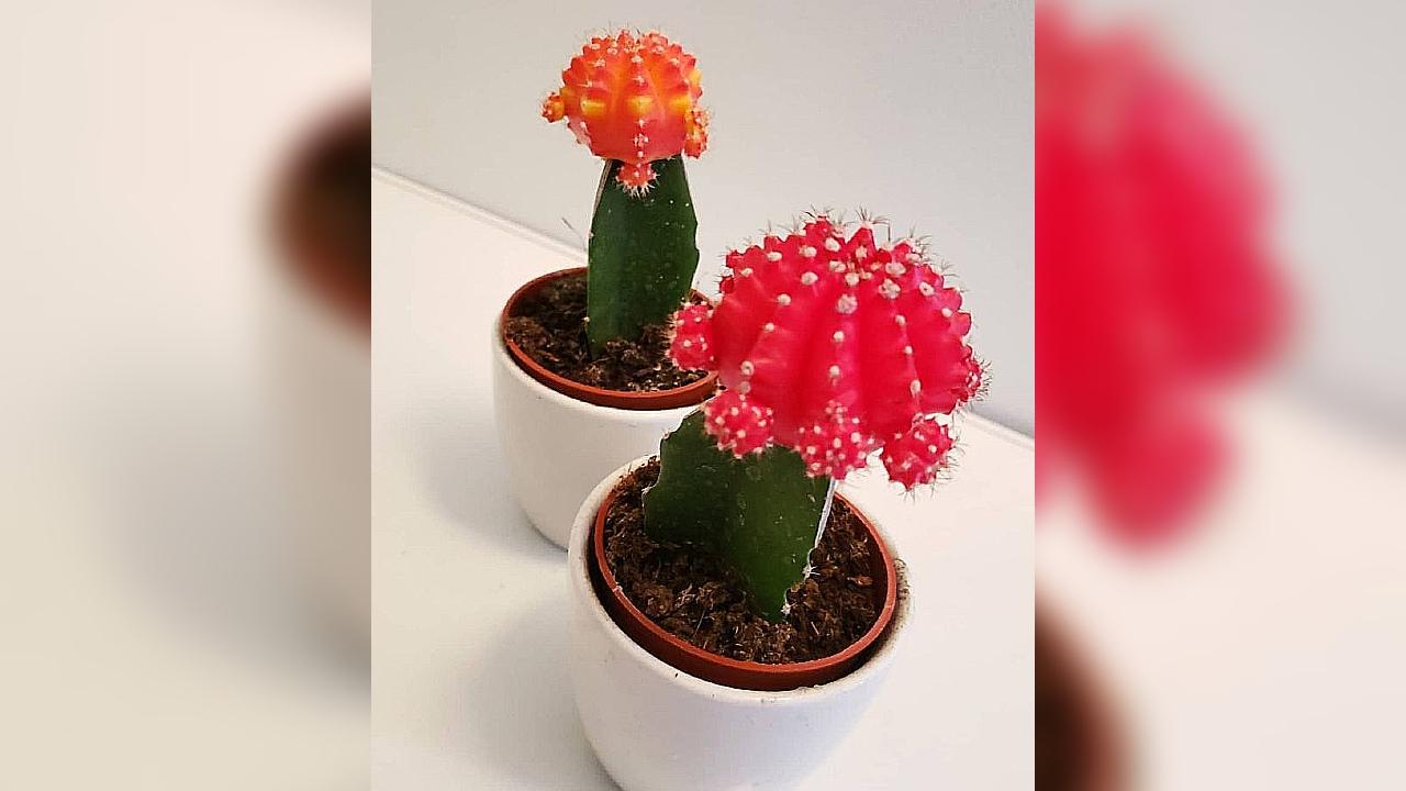 cactus injertados cuidados básicos plantas cómo se hacen