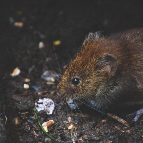 repelente para ratas y ratones libres de crueldad