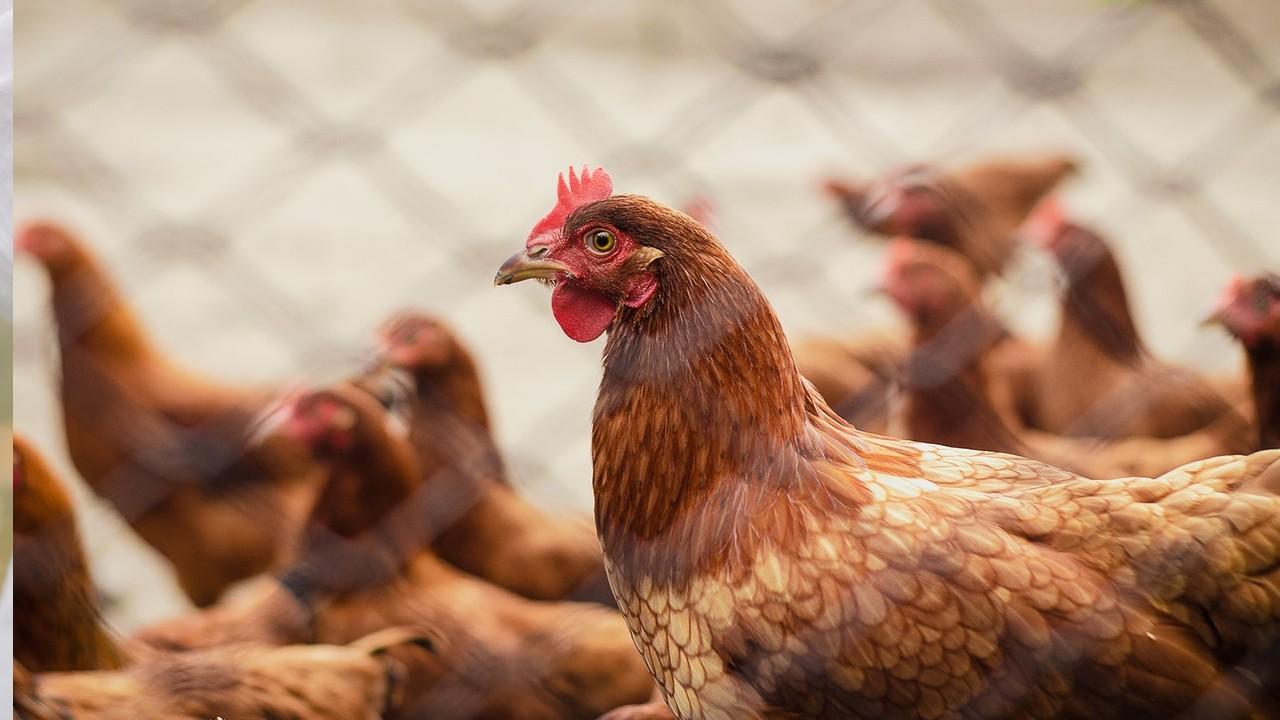 criar gallinas en casa moda entre los ricos