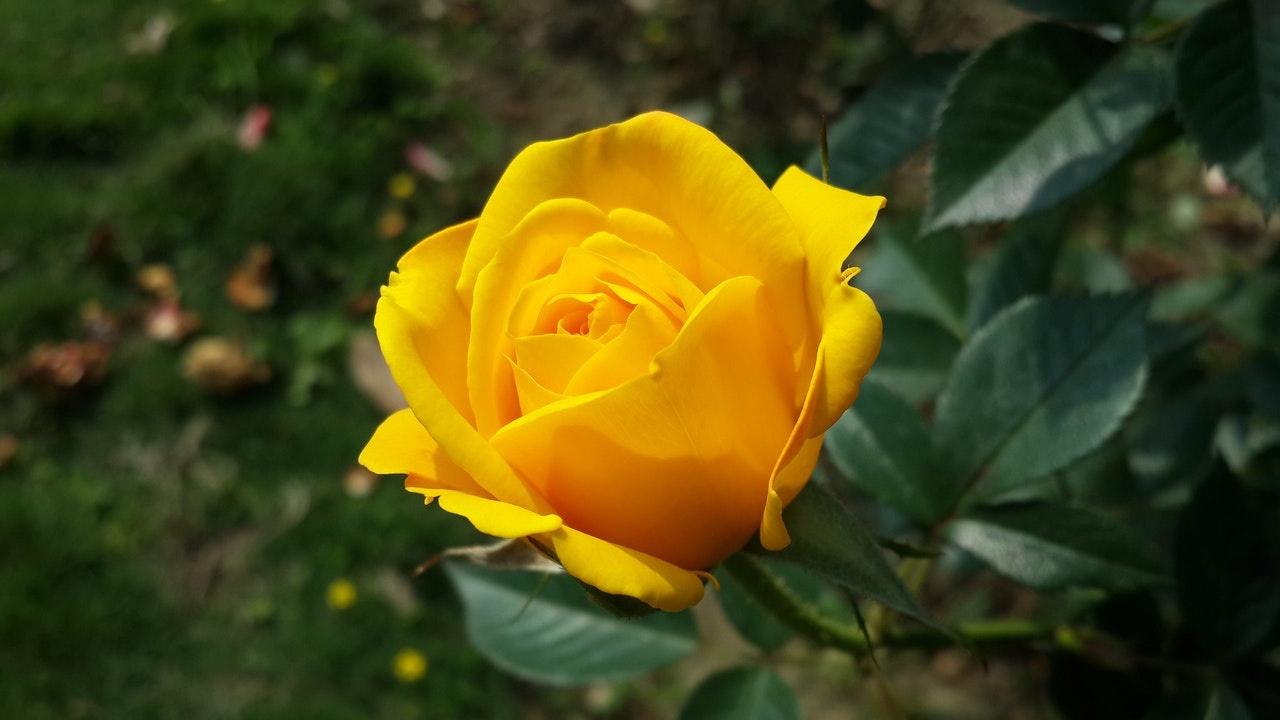 significado de regalar rosas amarillas no es hipocresía