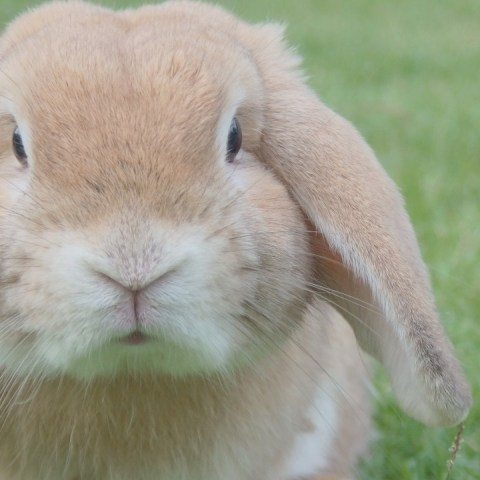 orina de conejo es peligrosa para humanos