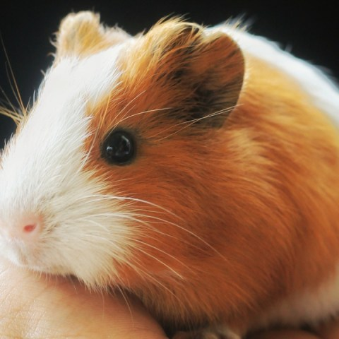 ventajas y desventajas de tener hamster como mascota