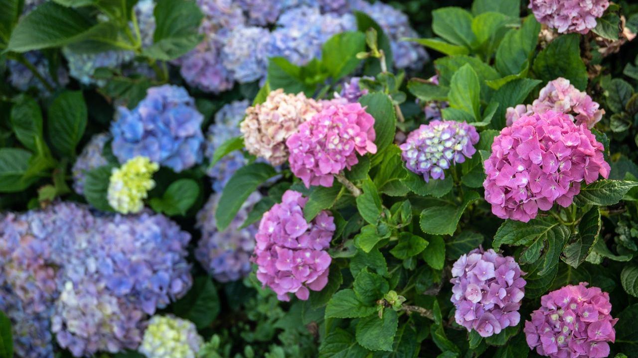 cómo cuidar las hortensias de manera correcta