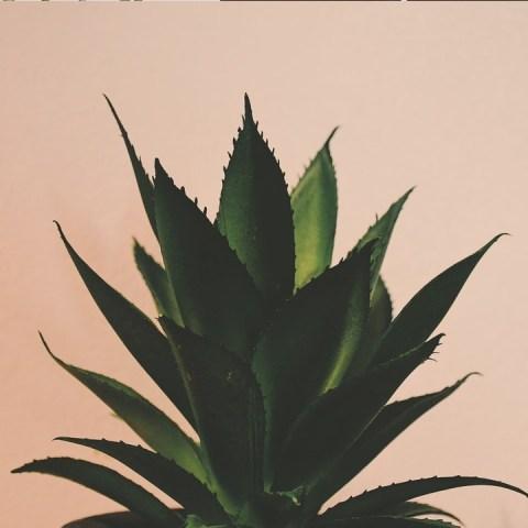 plantas medicinales cómo reproducir sábila