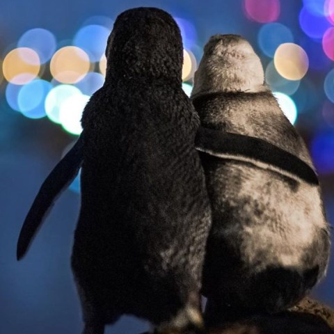 historia de pinguinos viudos en australia abrazándose