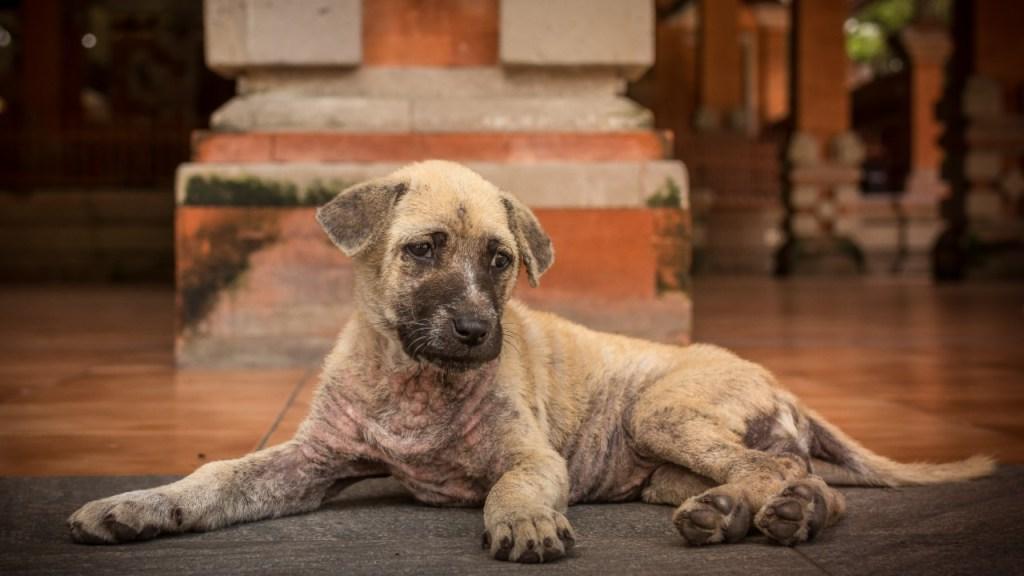 sarna en perros sintomas