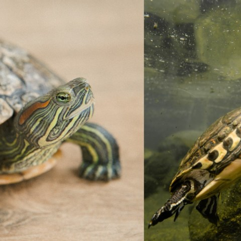 Qué comen las tortugas de agua alimentos