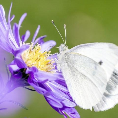 que significa que mariposa blanca te persiga